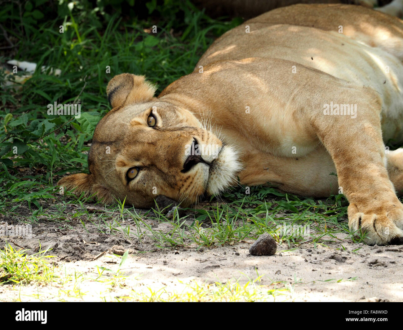 Mother lioness lying on her side in shade ready to feed hungry lion cubs - Stock Image