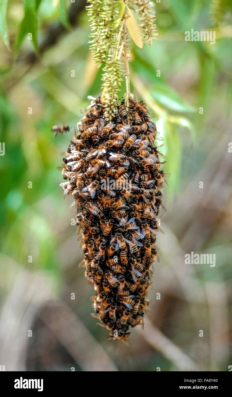 A swarm of honeybees hanging from a tree branch cluster together to conserve warmth during wintertime in California, - Stock Image