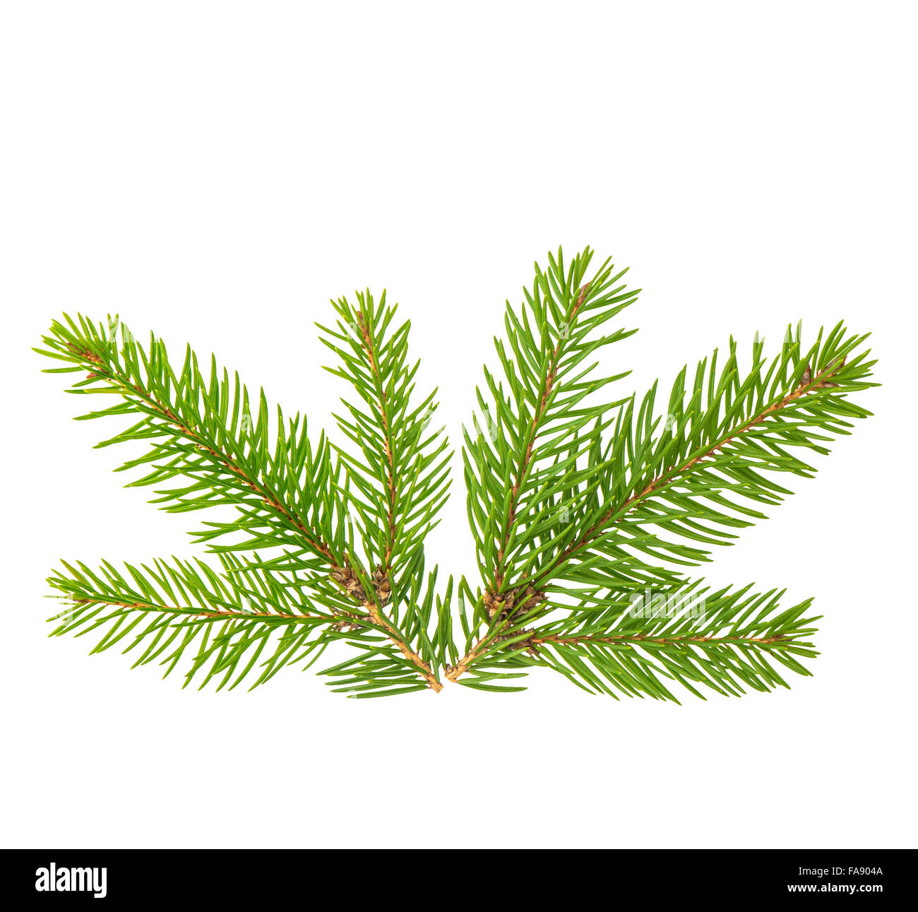 Spruce branches isolated on white background. Evergreen plant - Stock Image