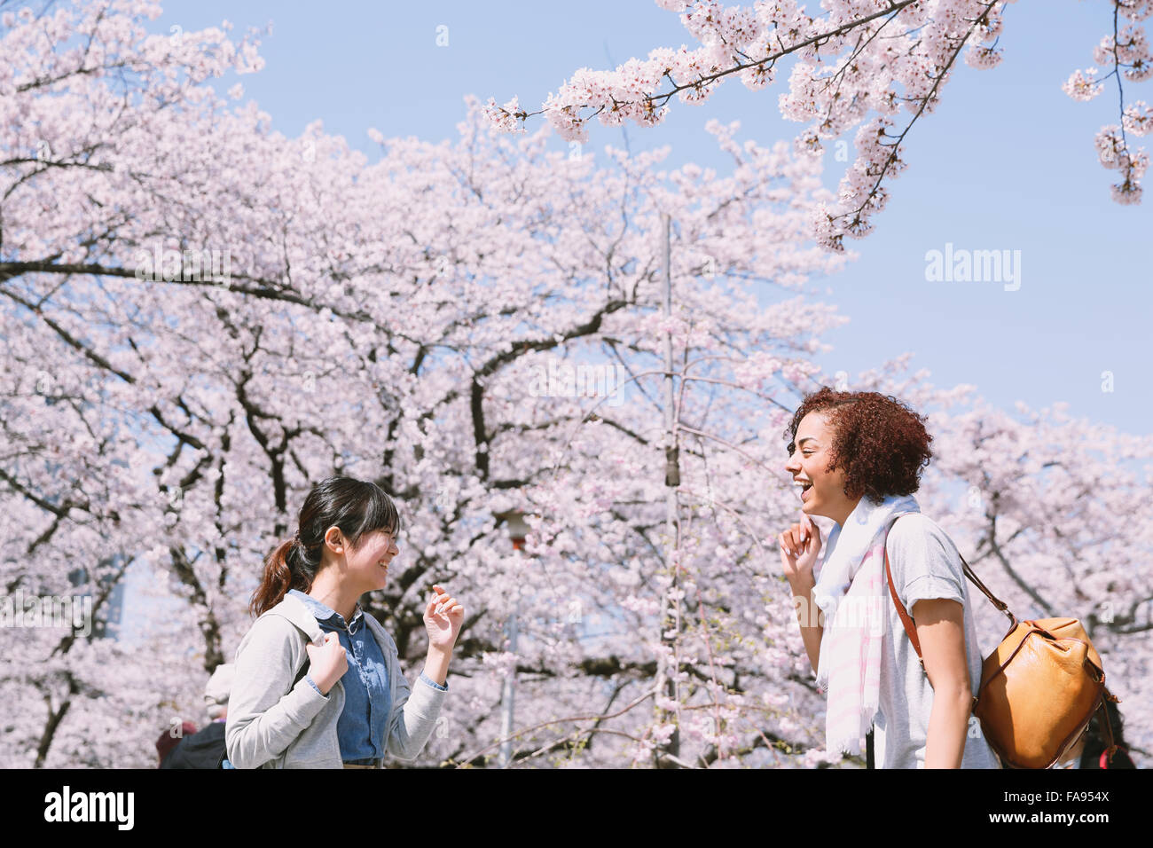 Multi-ethnic group of friends enjoying cherry blossoms blooming in Tokyo - Stock Image