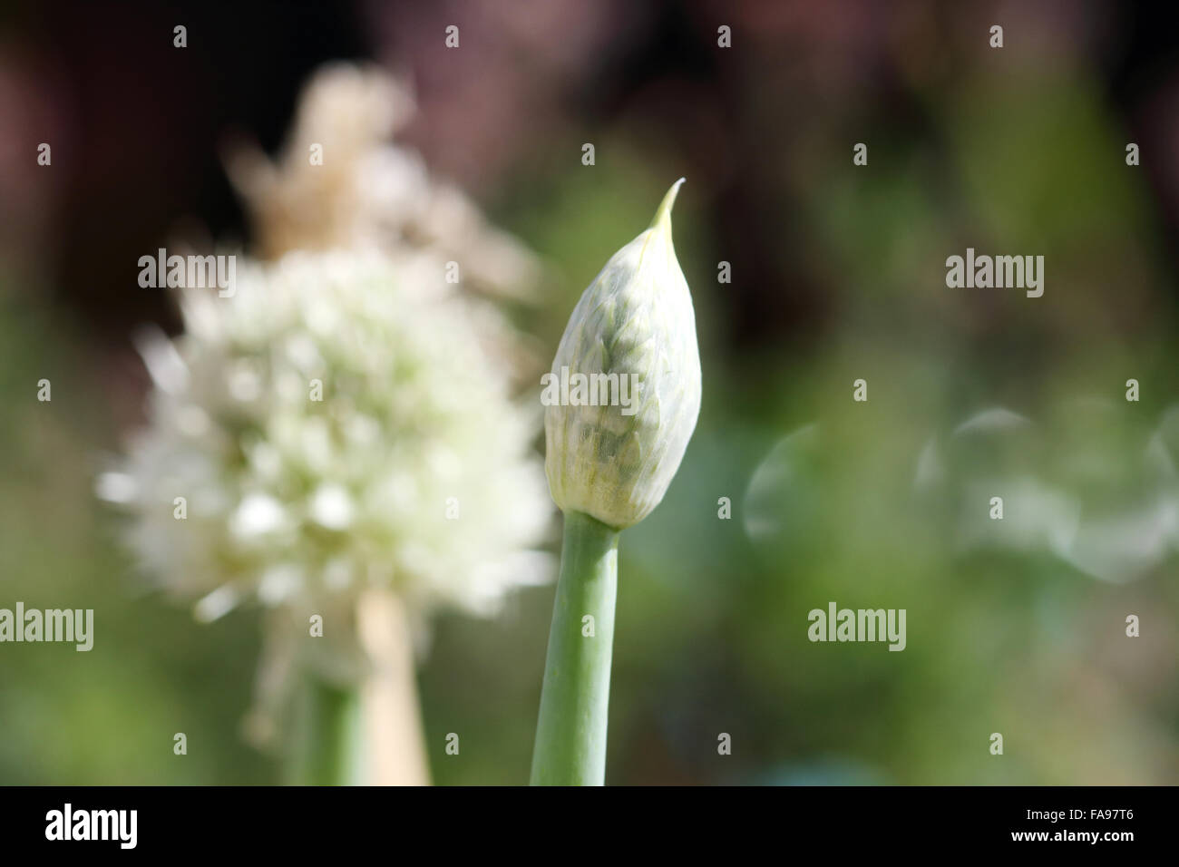Close Up Of Unopened Spring Onion Flower Stock Photo 92402134 Alamy