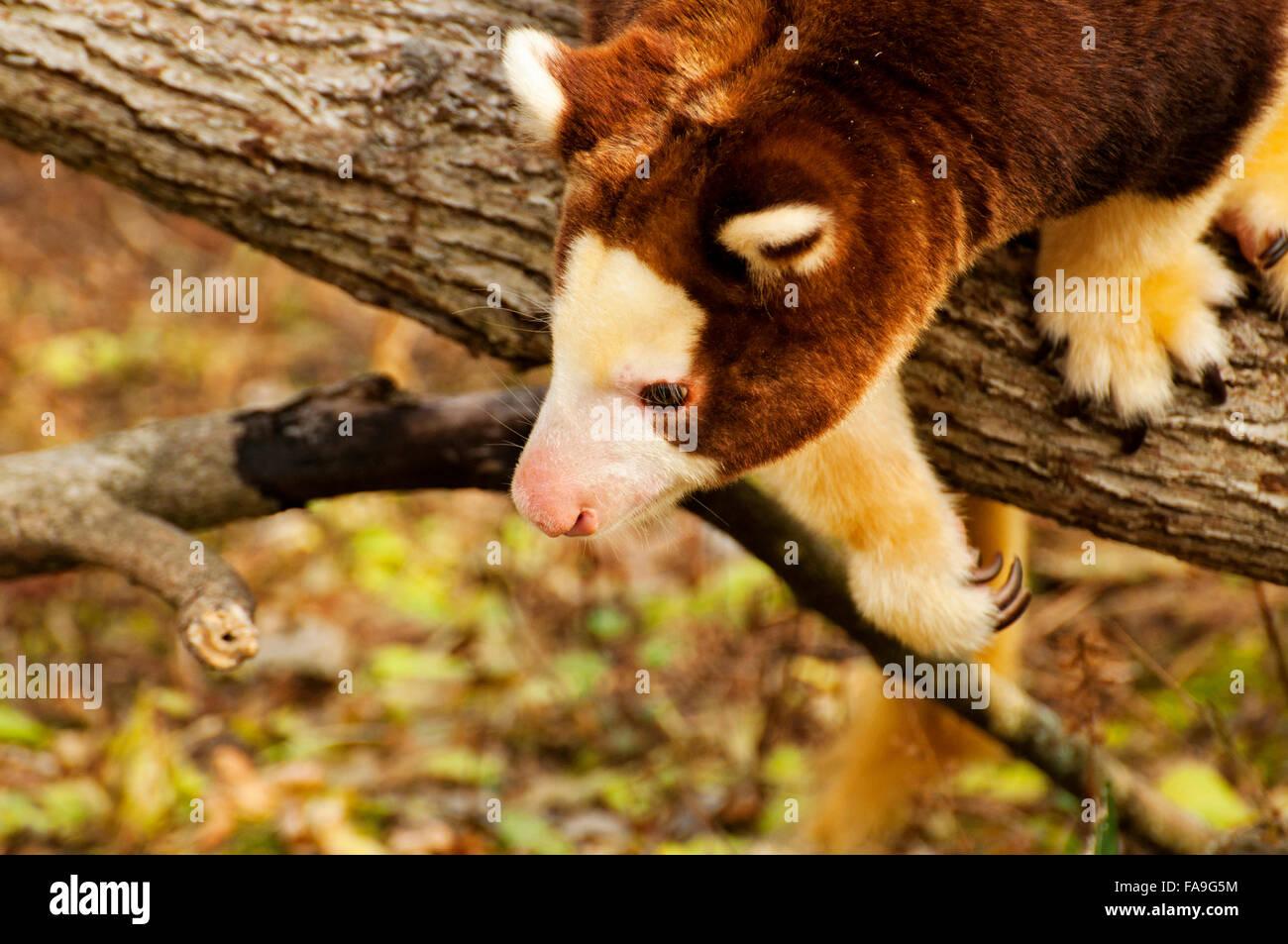 Tree Kangaroo on limb - Stock Image
