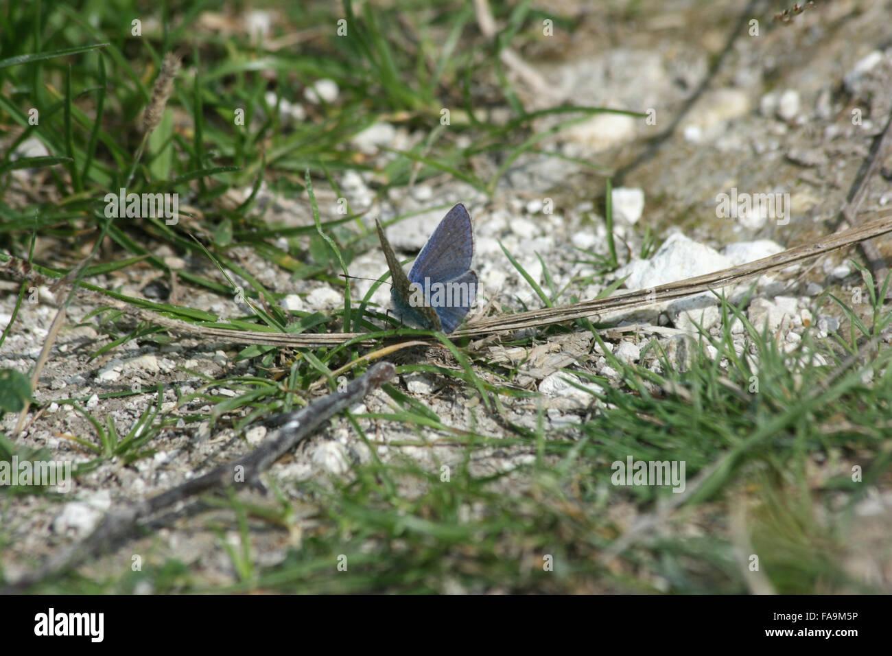 Male chalkhill blue butterfly (Polyommatus coridon) on the ground, on chalk grassland - Stock Image