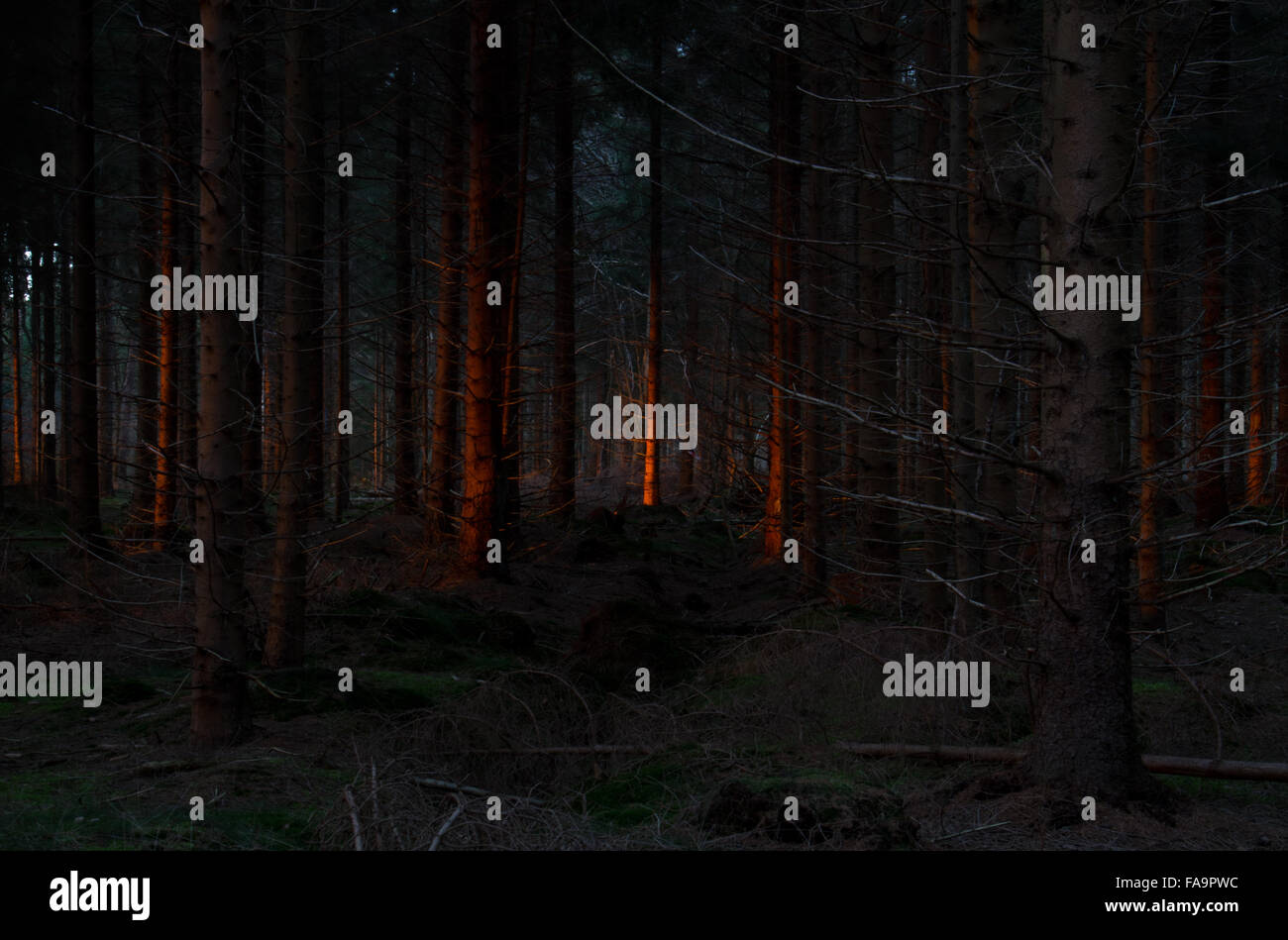 Last sunlight shines a red light on stems of pine trees in a dark forest - Stock Image