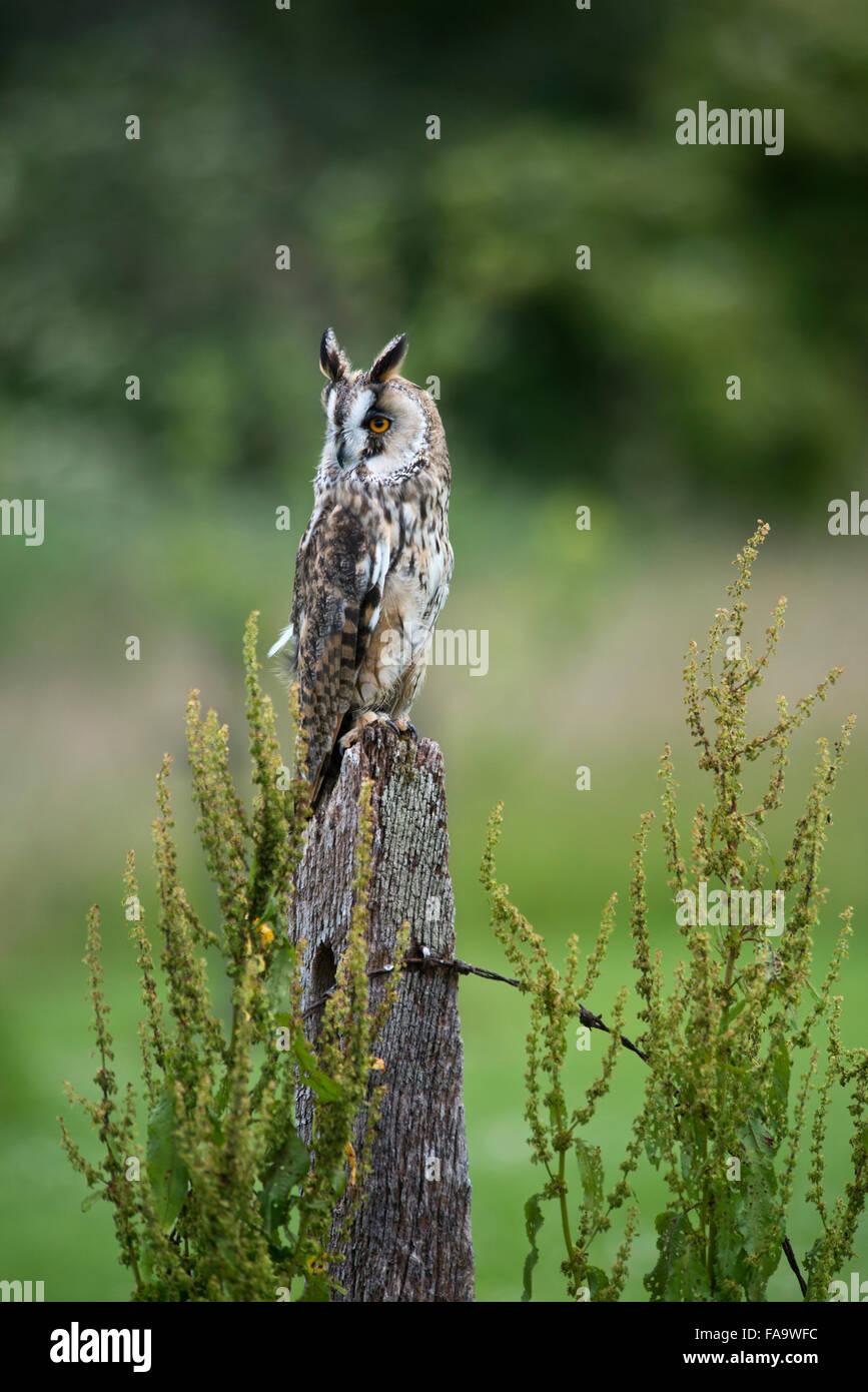 Long eared owl. ( asio otus. ) on post. - Stock Image