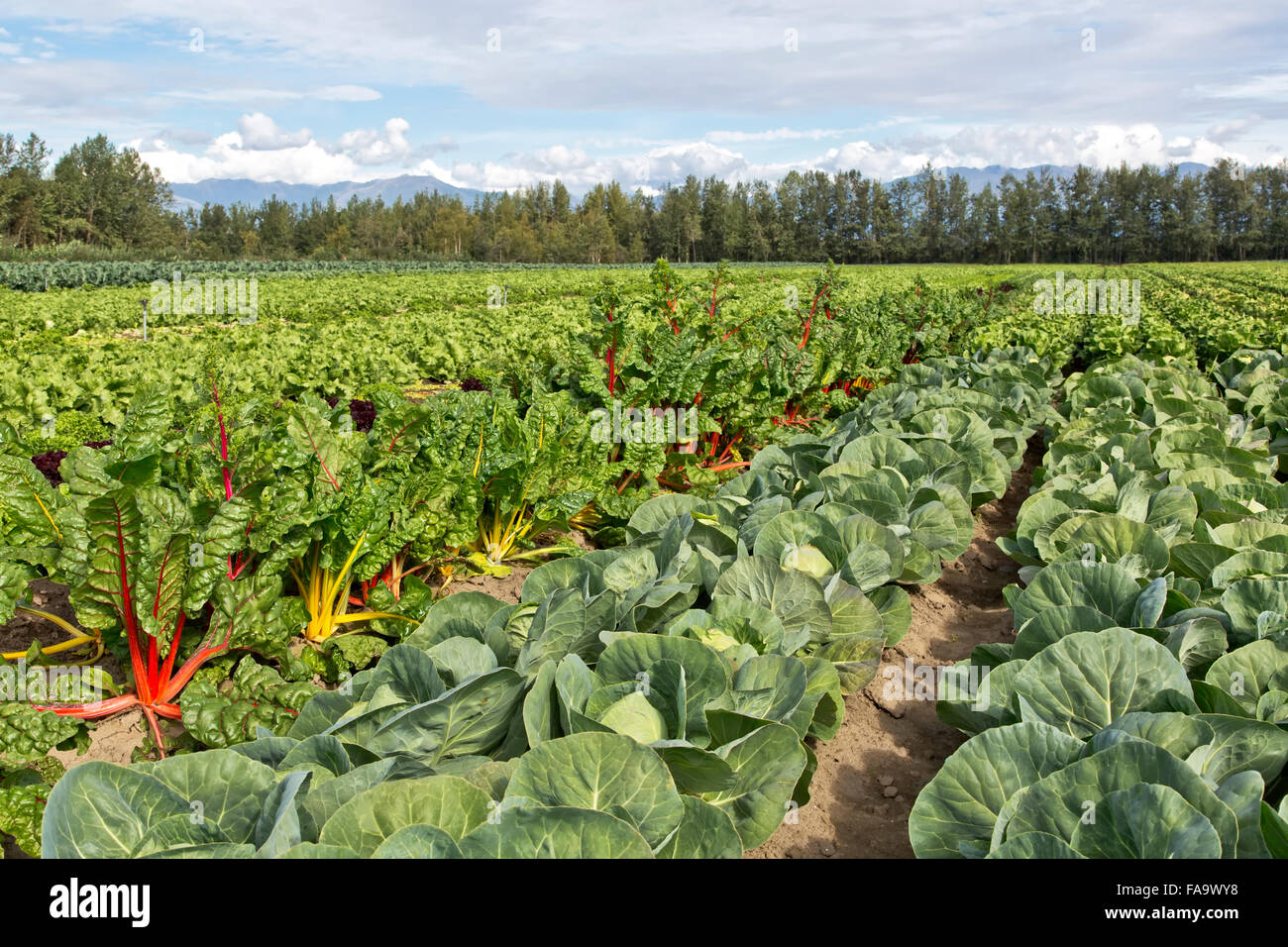 Colorful Swiss Chard   'Beta vulgaris'  & Cabbage  'Brassica oleracea'  growing in field, pre - Stock Image