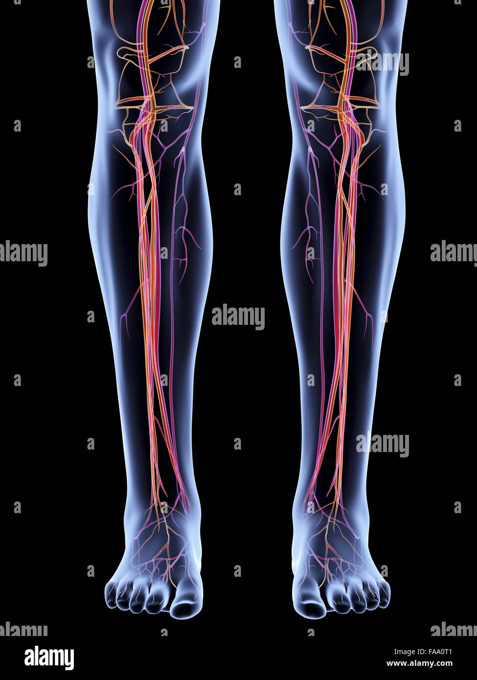 Veins Arteries Leg Stock Photos Veins Arteries Leg Stock Images