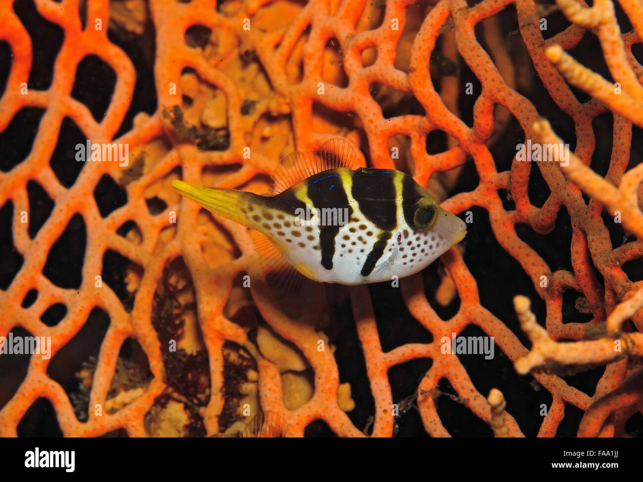 Black-saddled Toby, Canthigaster valentini, on fan coral in Tulamben, Bali, Indonesia Stock Photo