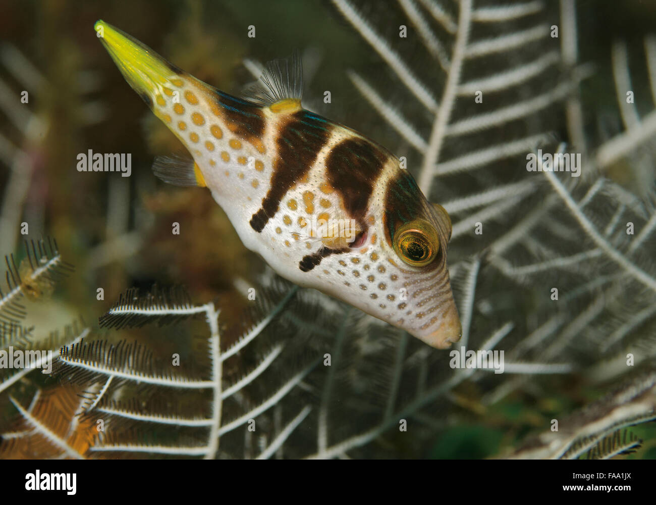 Black-saddled Toby, Canthigaster valentini, on soft coral in Tulamben, Bali, Indonesia Stock Photo