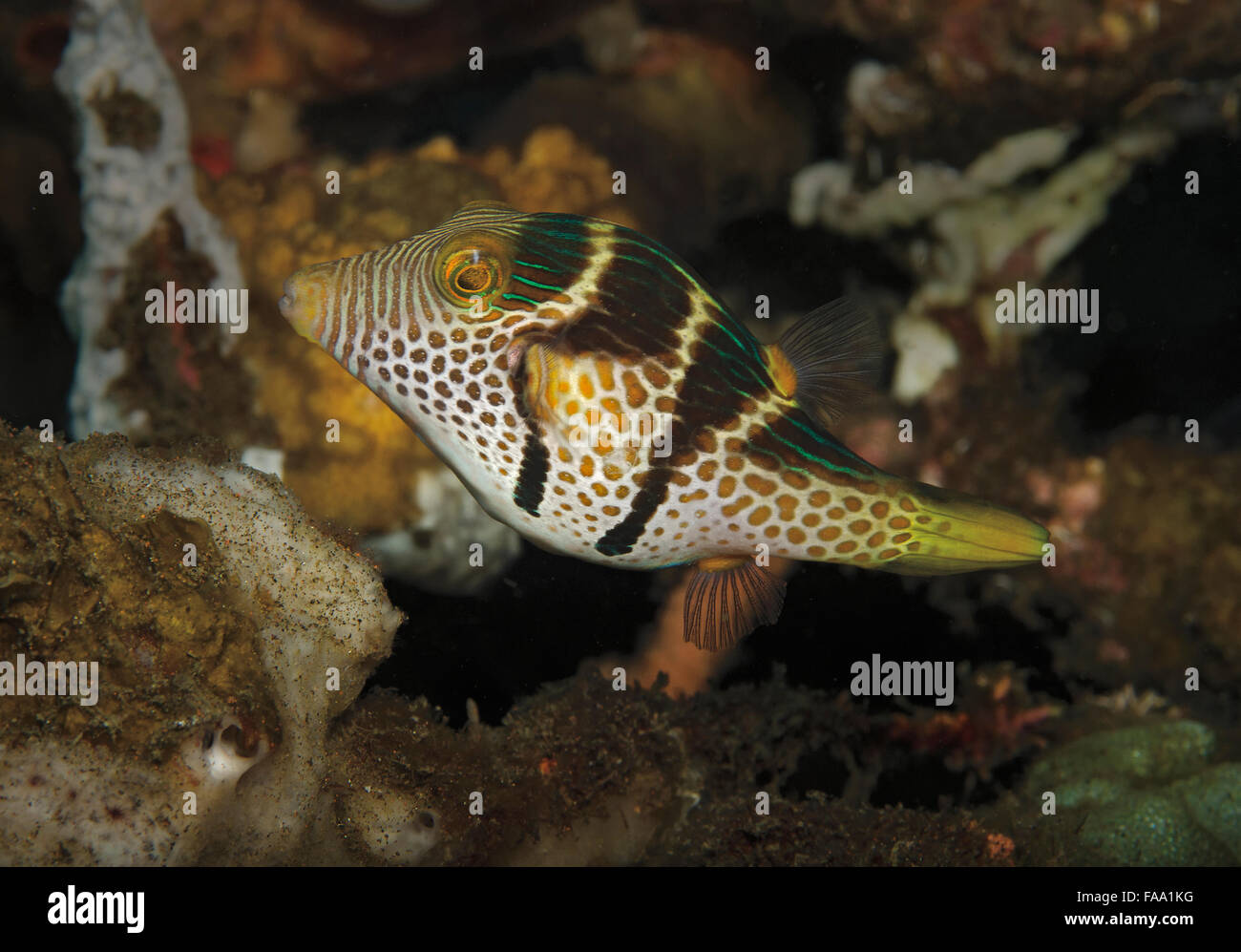 Black-saddled Toby, Canthigaster valentini, on coral reef in Tulamben, Bali, Indonesia Stock Photo
