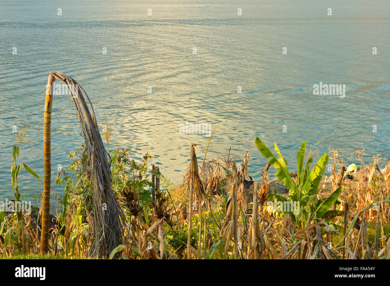 Corn field by the shore of the lake Atitlan in Guatemala - Stock Image