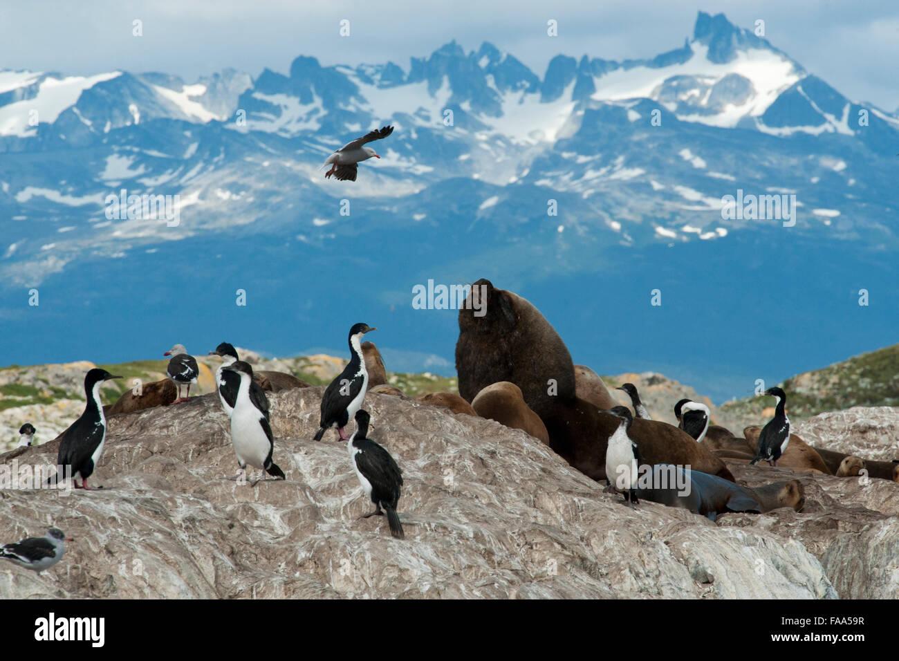 South American Sealions, Otaria flavescens/byronia, a dominant bull growling at Shags & Dolphin Gull, Ushuaia, - Stock Image
