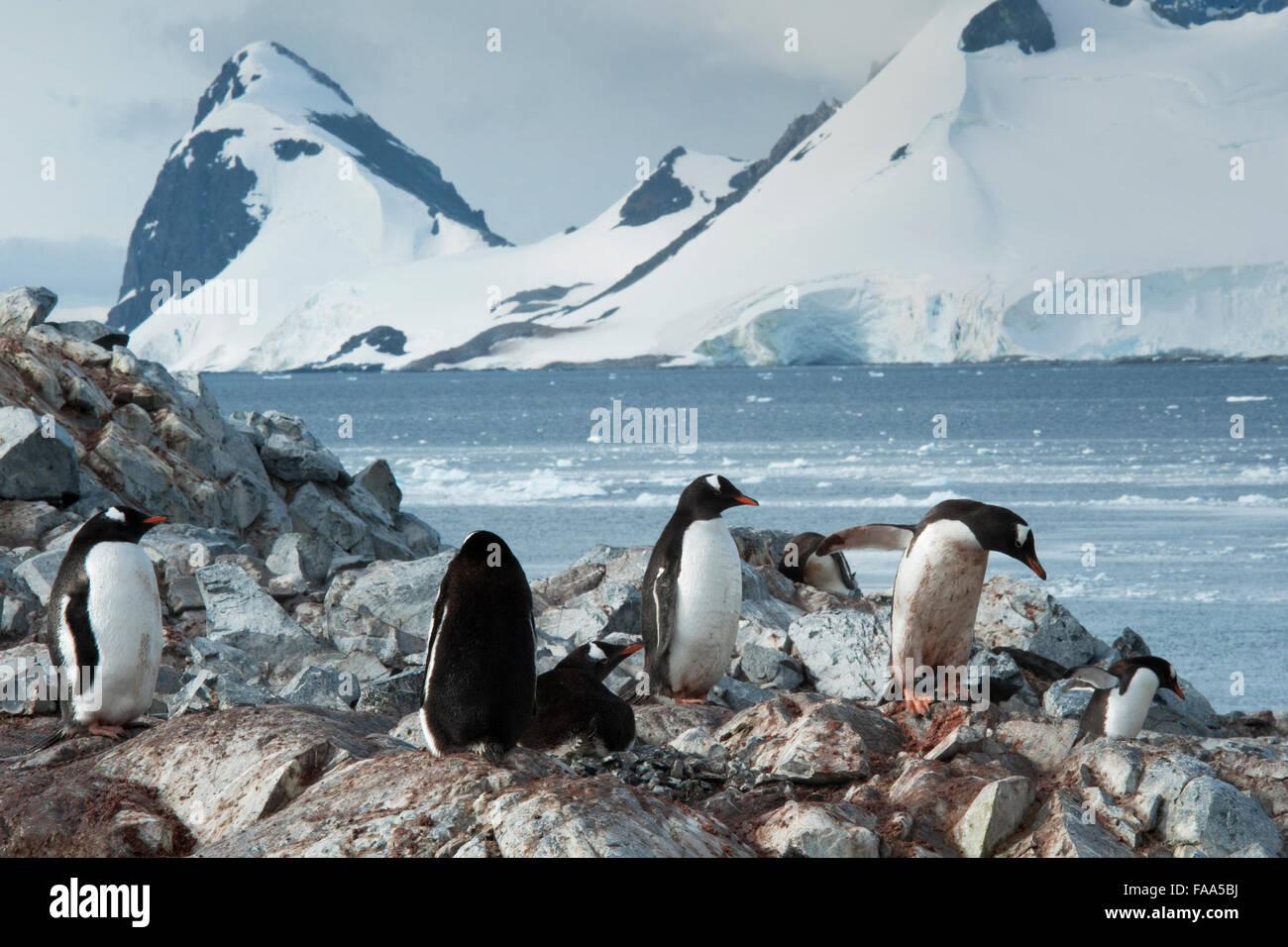 Gentoo penguin colony with chicks Pygoscelis papua Pleneau Island, Antarctic Peninsula. Stock Photo