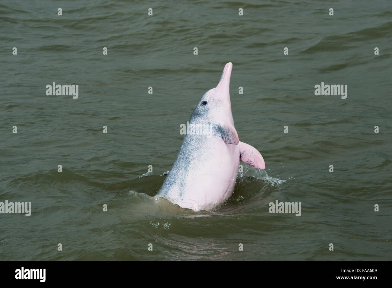 Female Indo-Pacific Humpback Dolphin (Sousa chinensis), breaching. Hong Kong, Pearl River Delta. - Stock Image