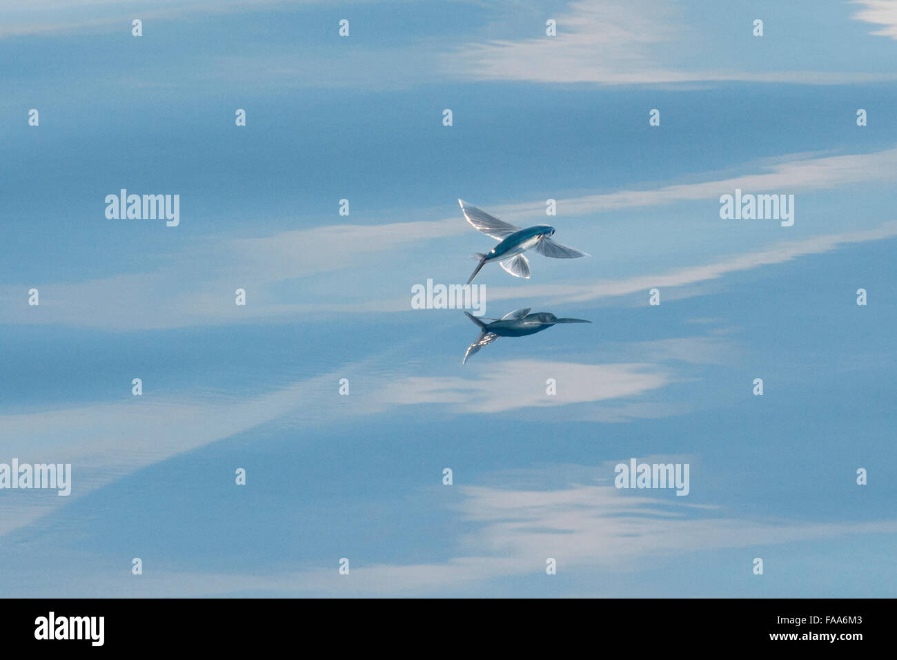 Flying Fish Species (scientific name unknown) with reflection visible, Maldives, Indian Ocean. Stock Photo