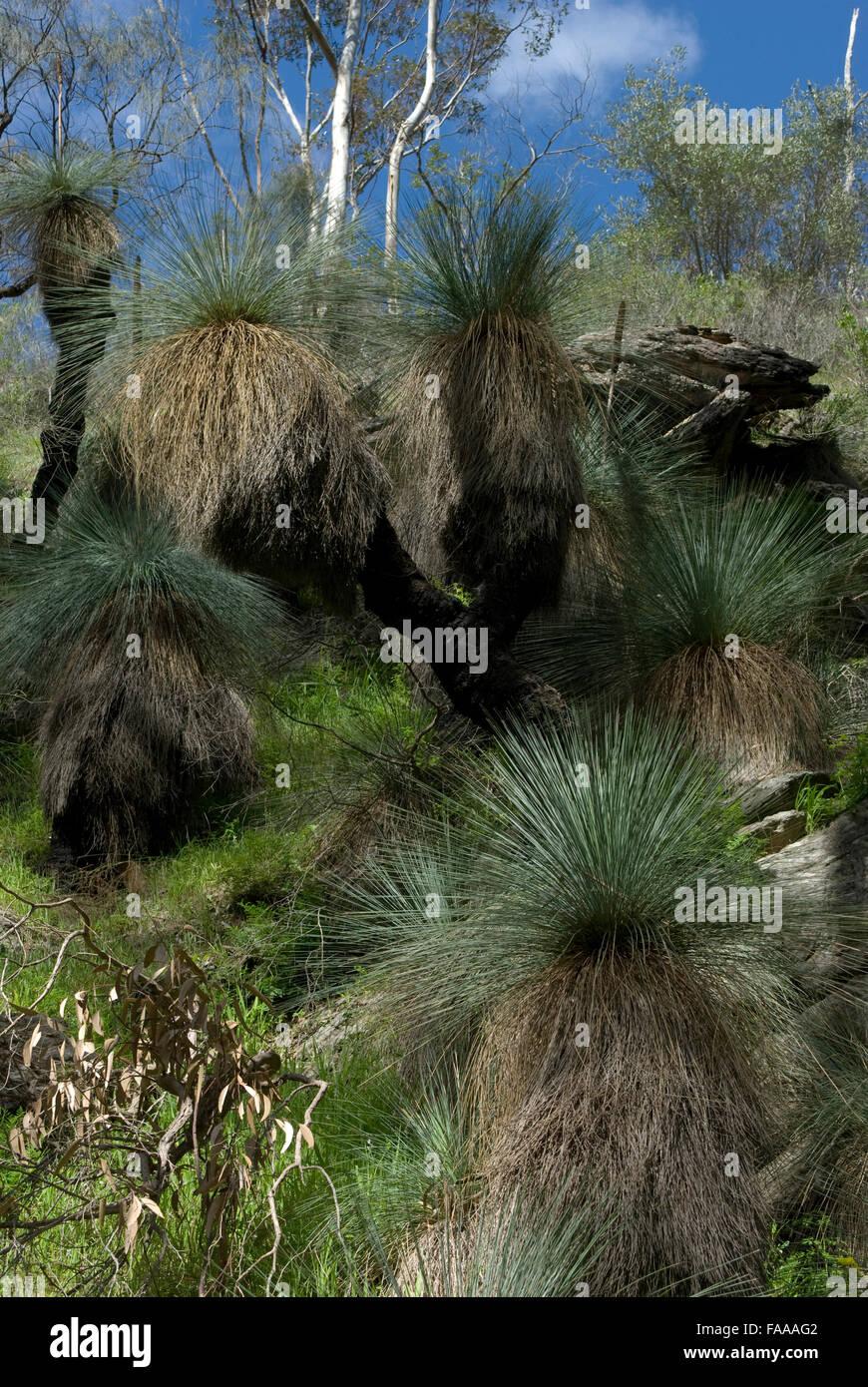 South Australian bushland including multiple 'blackboy' plants of the 'Xanthorrhoea' genus, mid - Stock Image