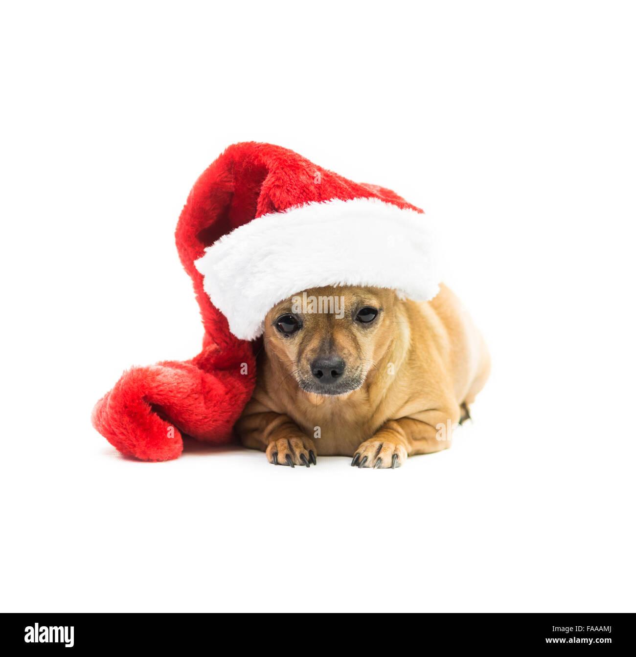 Chihuahua Dog Wearing Christmas Stocking - center - Stock Image