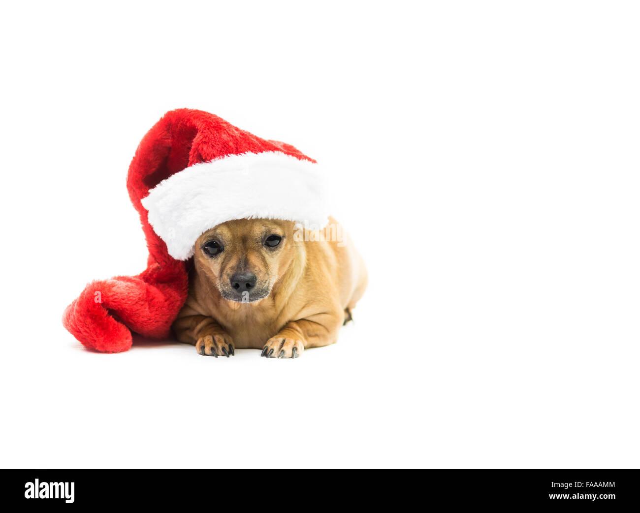 Chihuahua Dog Wearing Christmas Stocking - left side - Stock Image