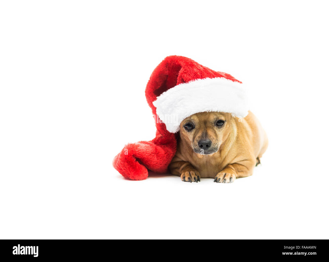 Chihuahua Dog Wearing Christmas Stocking - right side - Stock Image
