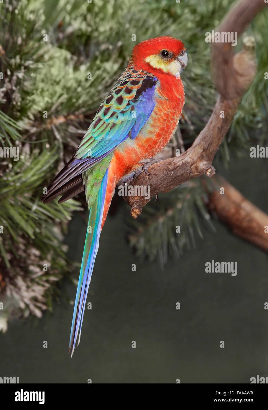 Western Rosella, 'Platycercus icterotis' on branch, Australian Birds, Australian Parrots, Rosella, colourful birds, Stock Photo