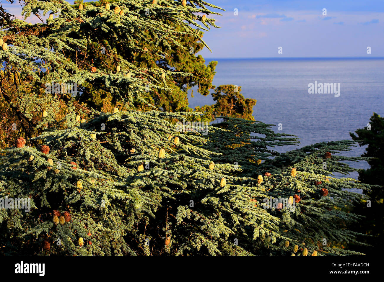 Branch of a coniferous tree (deodar) with pine cones illuminated by the evening light - Stock Image