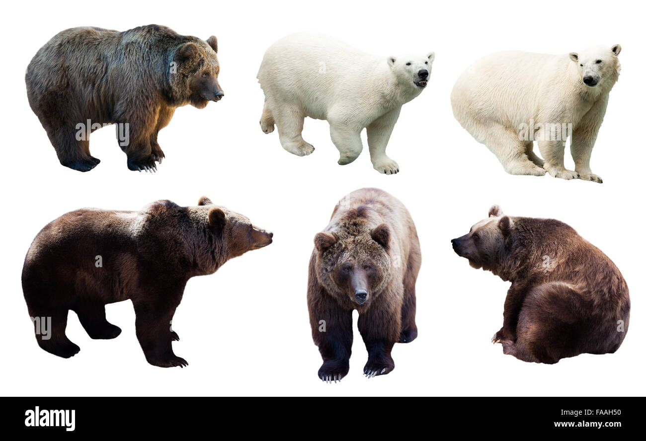 Set of polar and brown bears over white background - Stock Image
