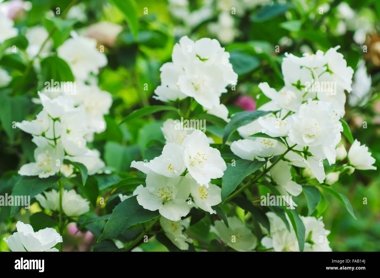 Jasmine Flower White Stock Photos Jasmine Flower White Stock
