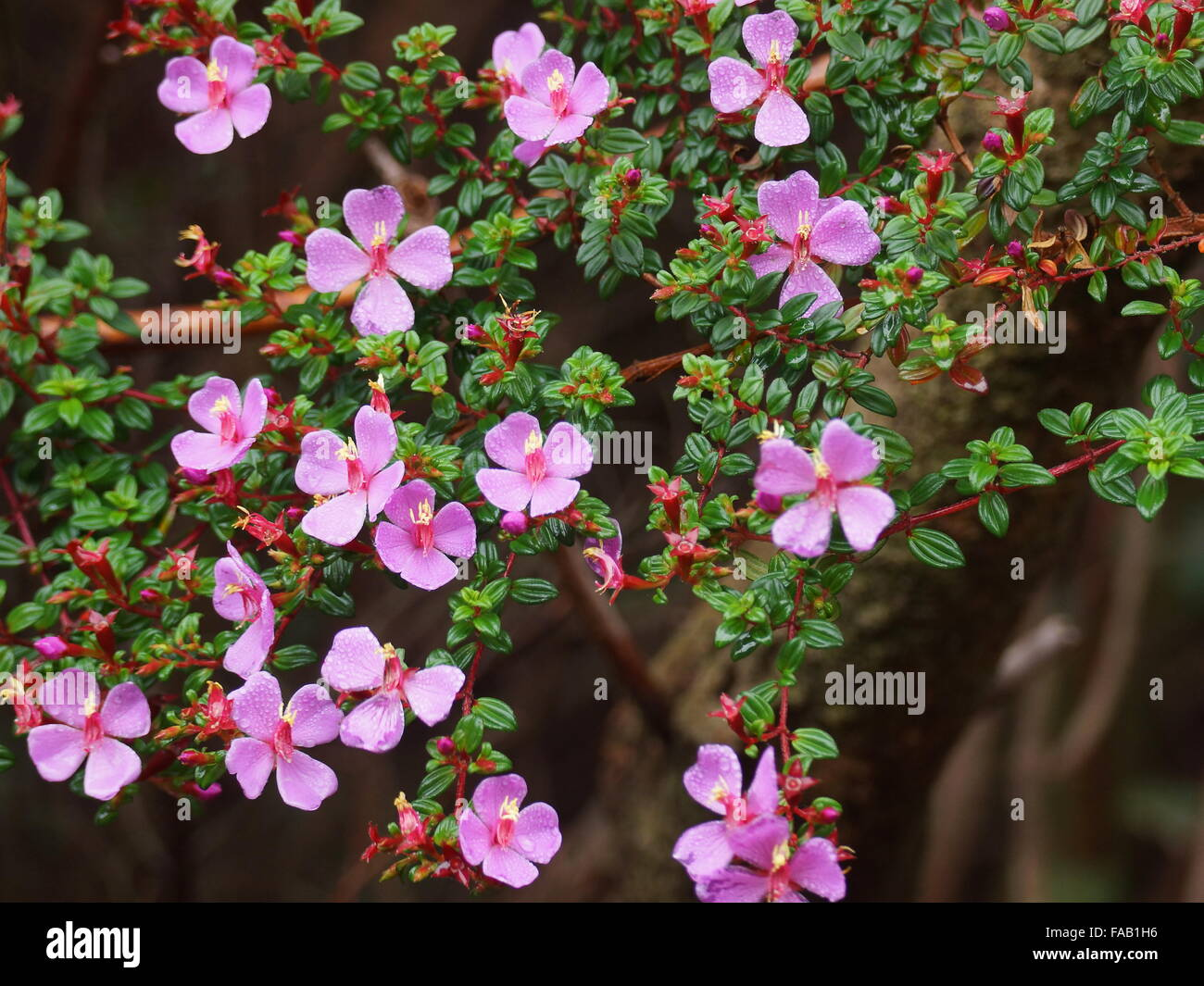 Pink flowers on a background of green leaves. Monochaetum vulcanicum , Melastomataceae. Costa Rica, Alajuela Province, - Stock Image