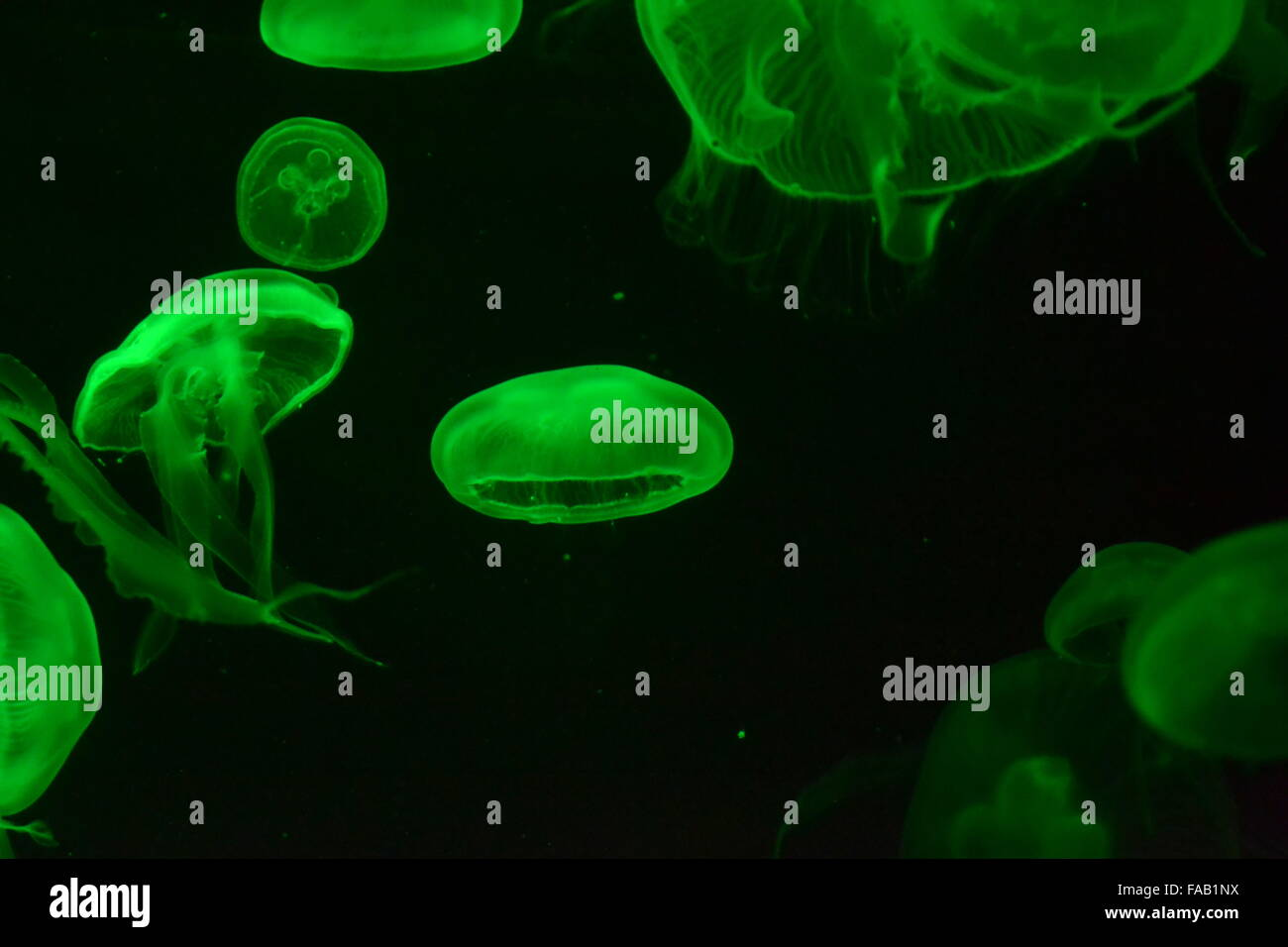 Swimming jellyfish with tendrils on green black background - Stock Image