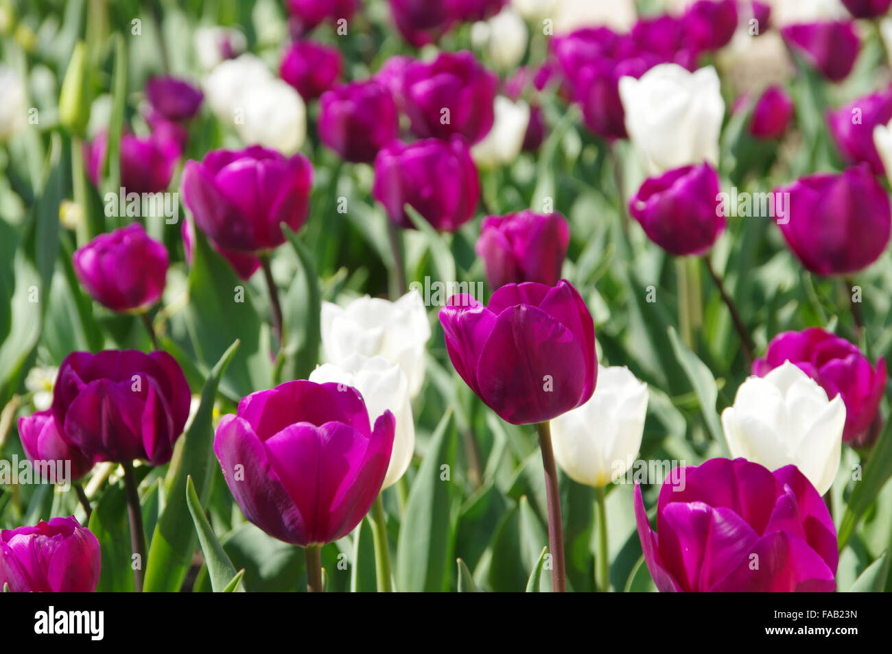 Tulpen lila und weiss - tulips purple and white 01 - Stock Image