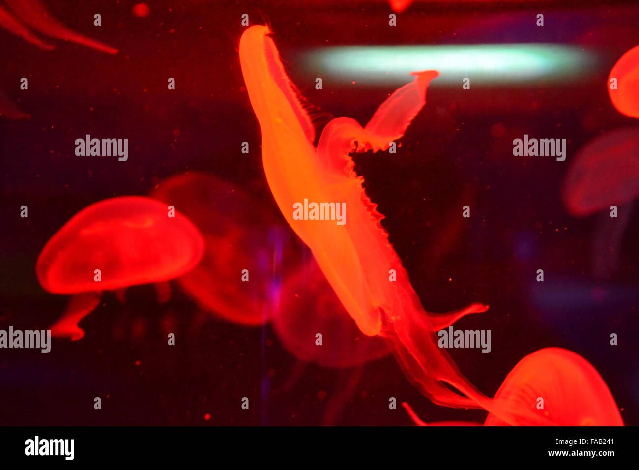 Jellyfish Swimming Black Stock Photos & Jellyfish Swimming Black ...