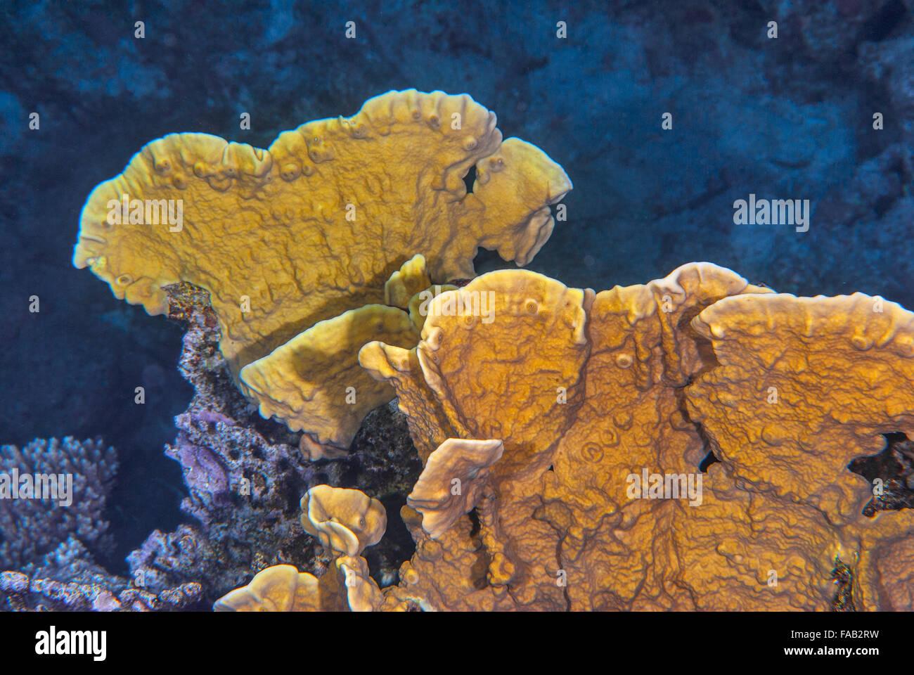 Fire coral, Millepora platyphylla, Milleporidae, Sharm el Sheikh, Red Sea, Egypt - Stock Image