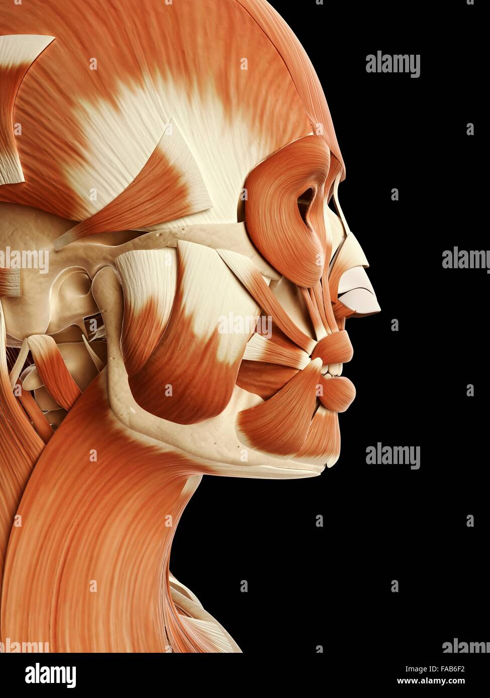 Human muscular system of the head and face, computer illustration ...