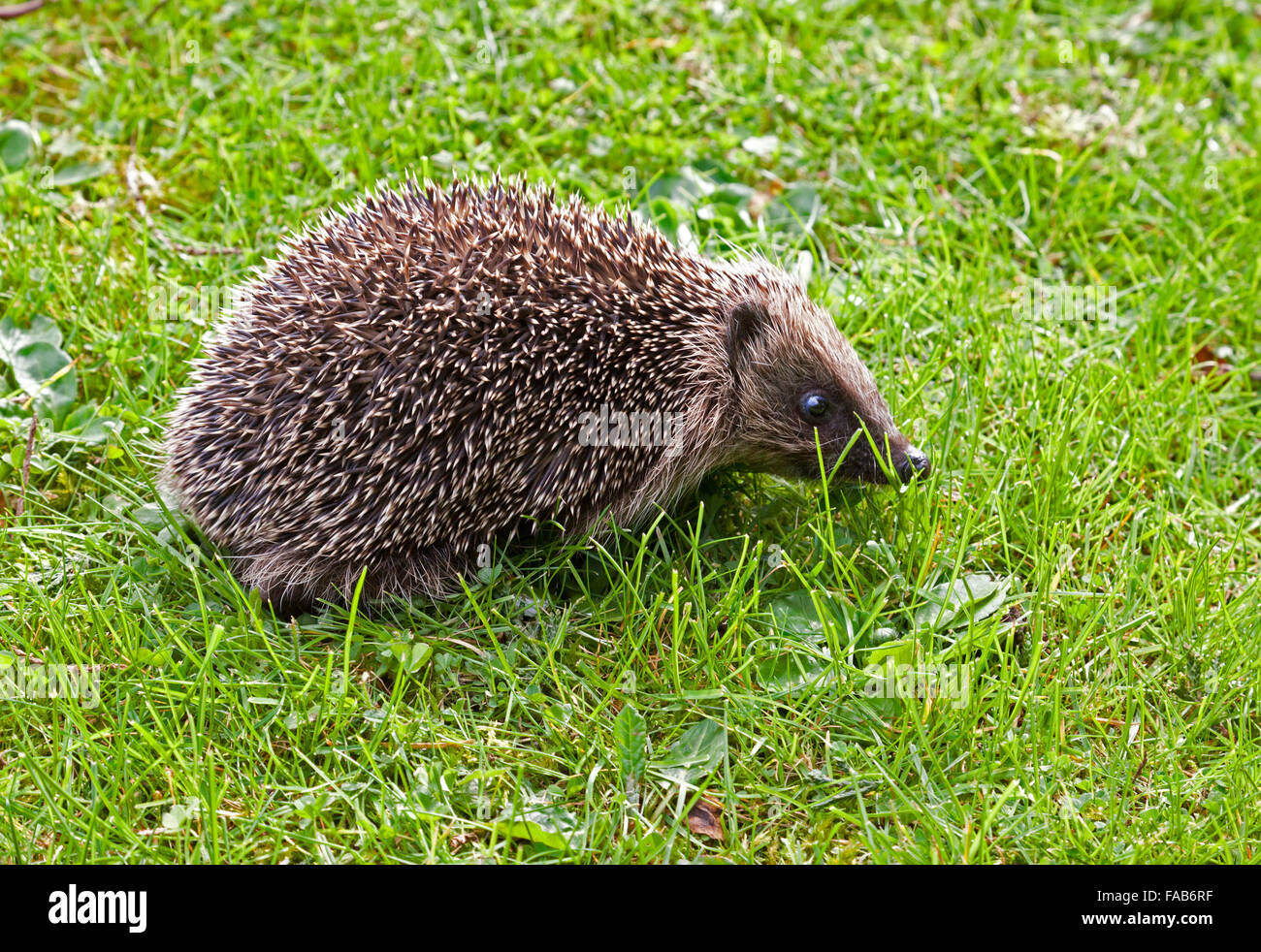 hedgehog on a lawn - Stock Image