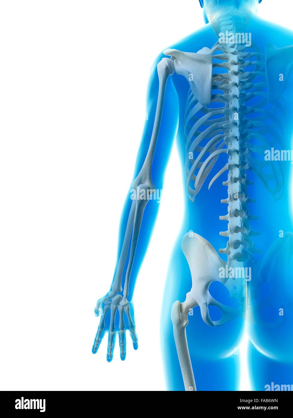 Spinal Structure Stock Photos & Spinal Structure Stock Images - Alamy