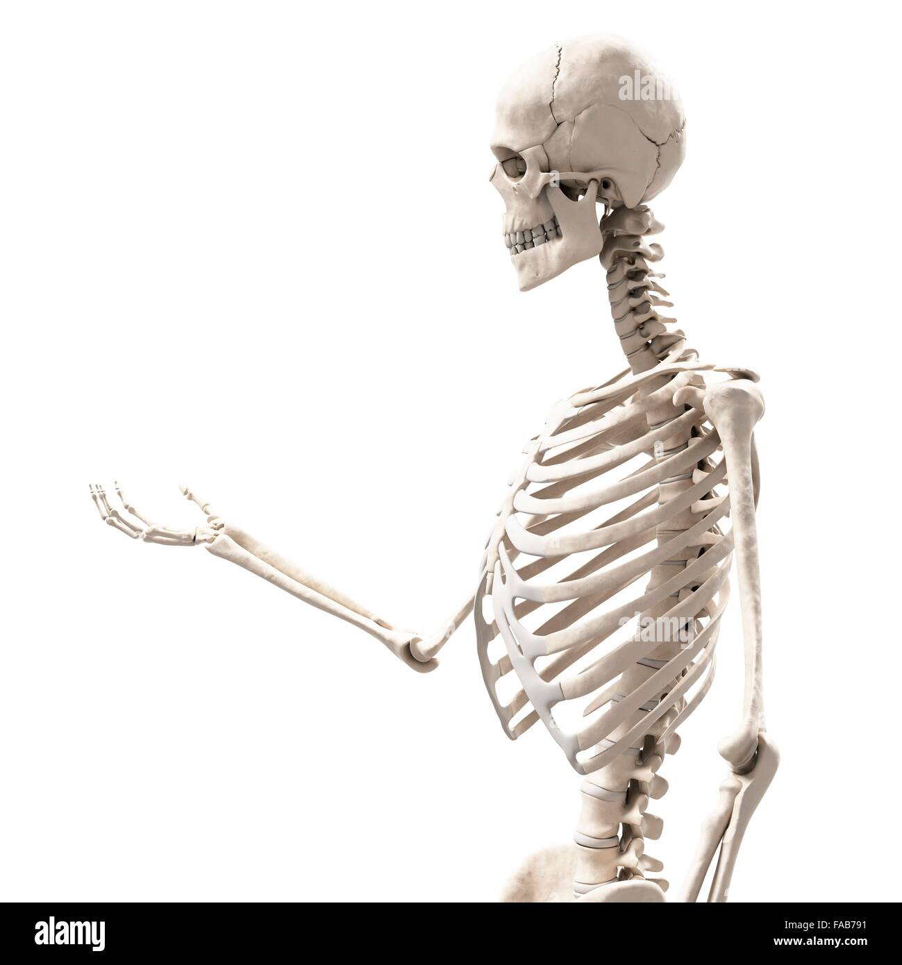 Human Skeletal Structure Cut Out Stock Images Pictures Alamy