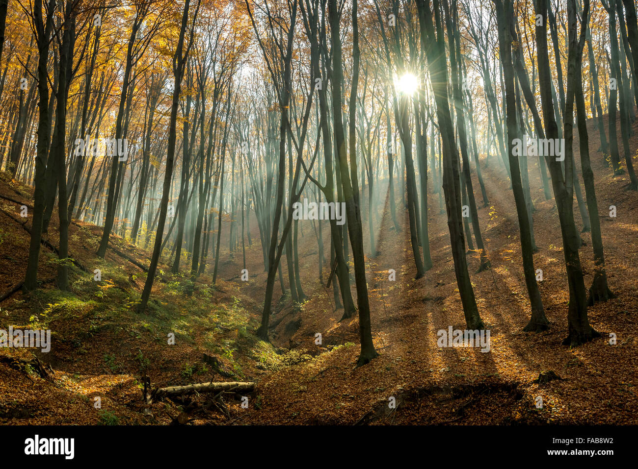 Fagus Forest of Bukovina, Ukraine - Stock Image