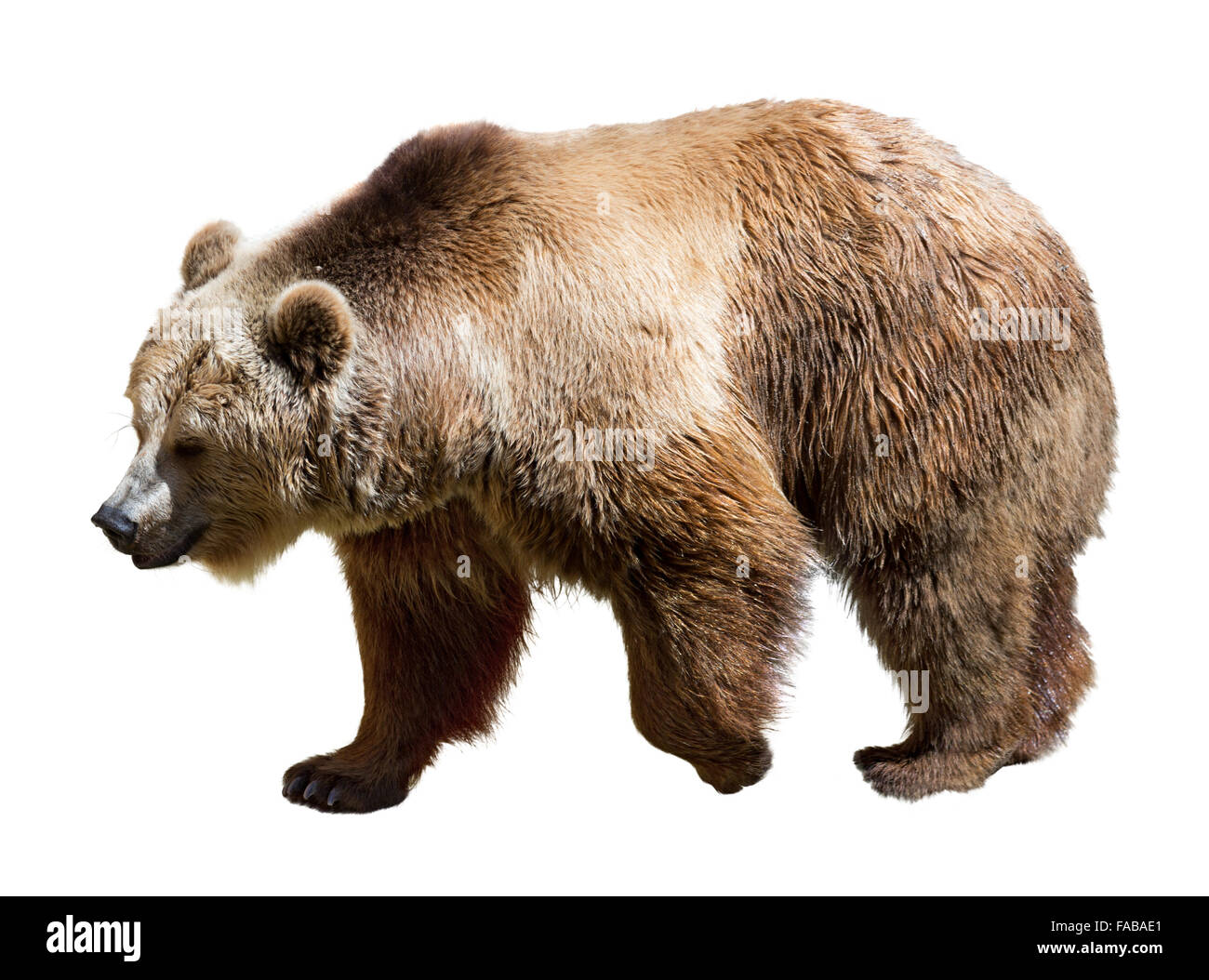 side view of bear isolated over white background stock photo