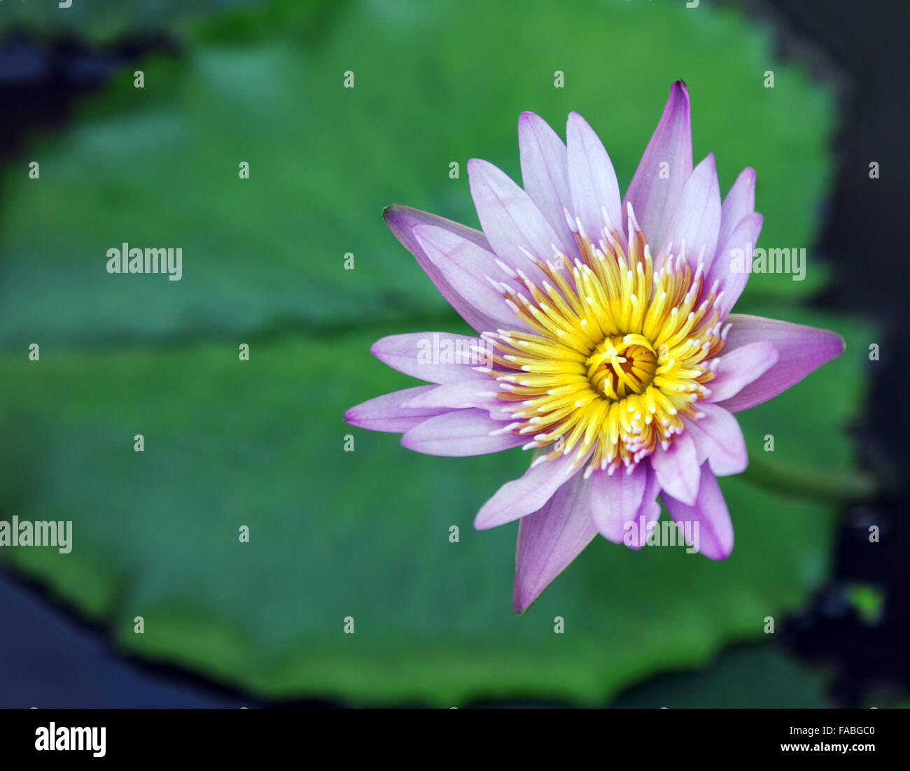 Top view of the purple lotus flower stock photo 92452752 alamy top view of the purple lotus flower izmirmasajfo