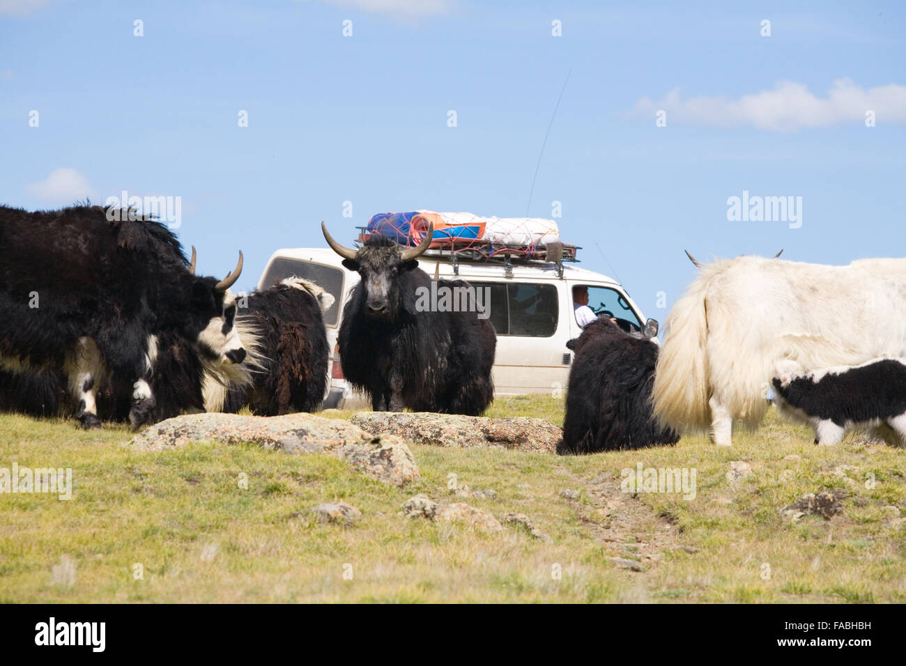 Alpine yak or as they are called - grunting ox - Stock Image