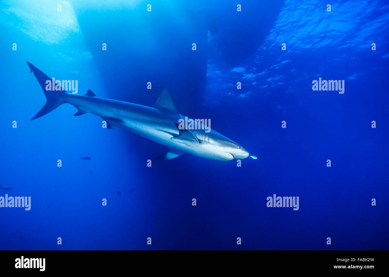 Caribbean reef shark, Carcharhinus perezii, is a species of requiem shark, belonging to the family Carcharhinidae Stock Photo