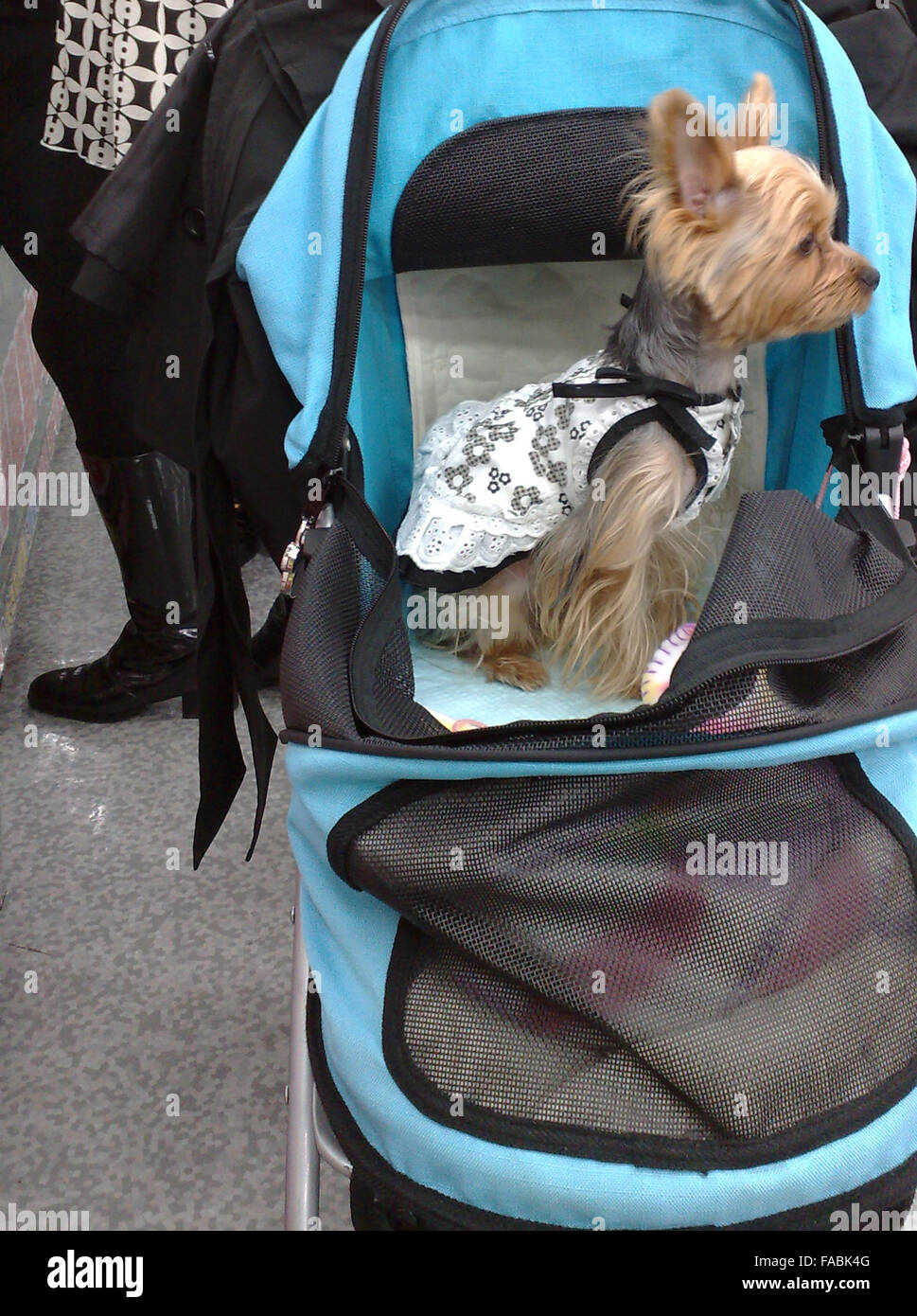 Pet dog in baby buggy - Stock Image