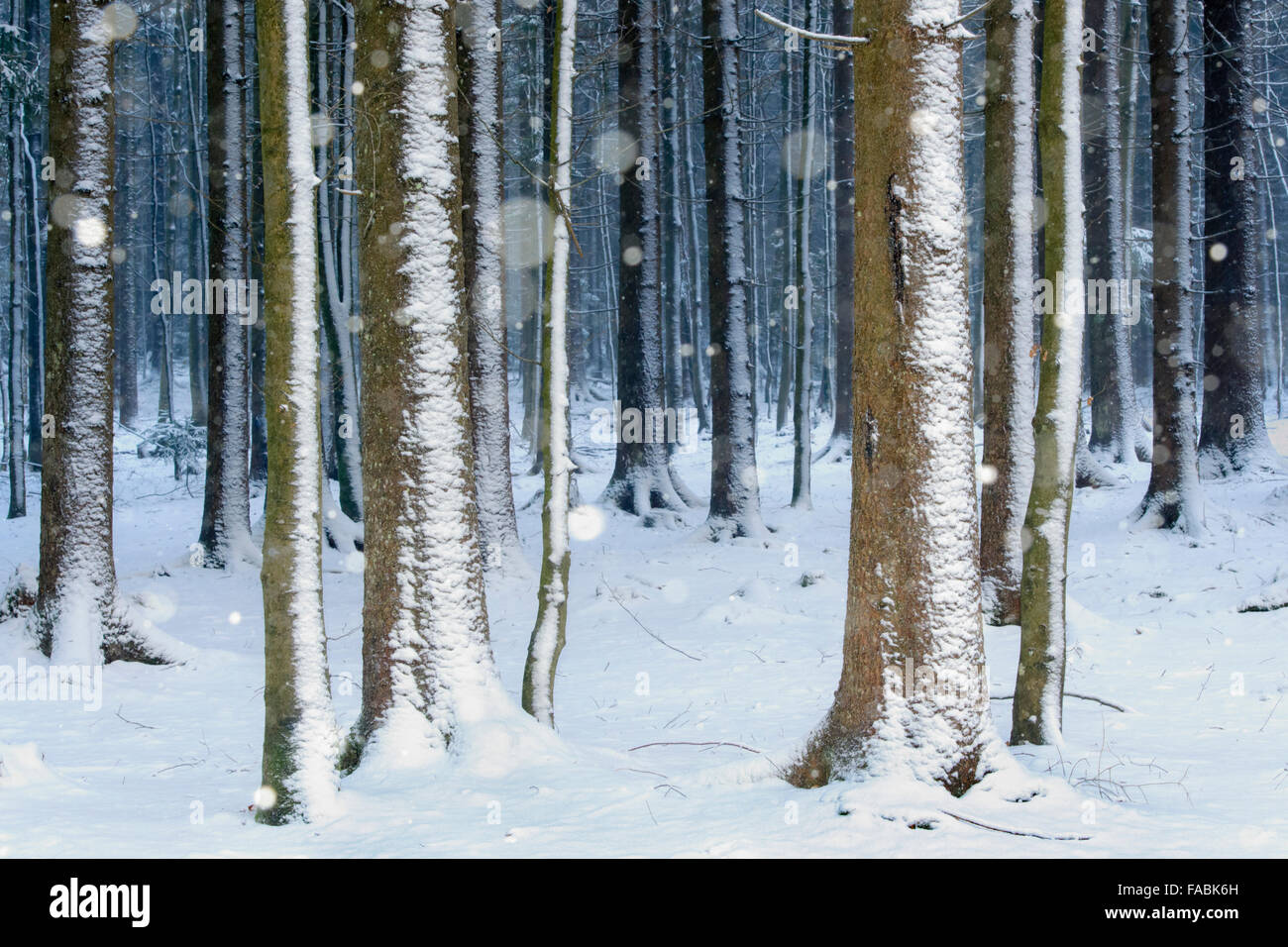 Falling snow in a pine forest, Bavarian forest, Germany - Stock Image