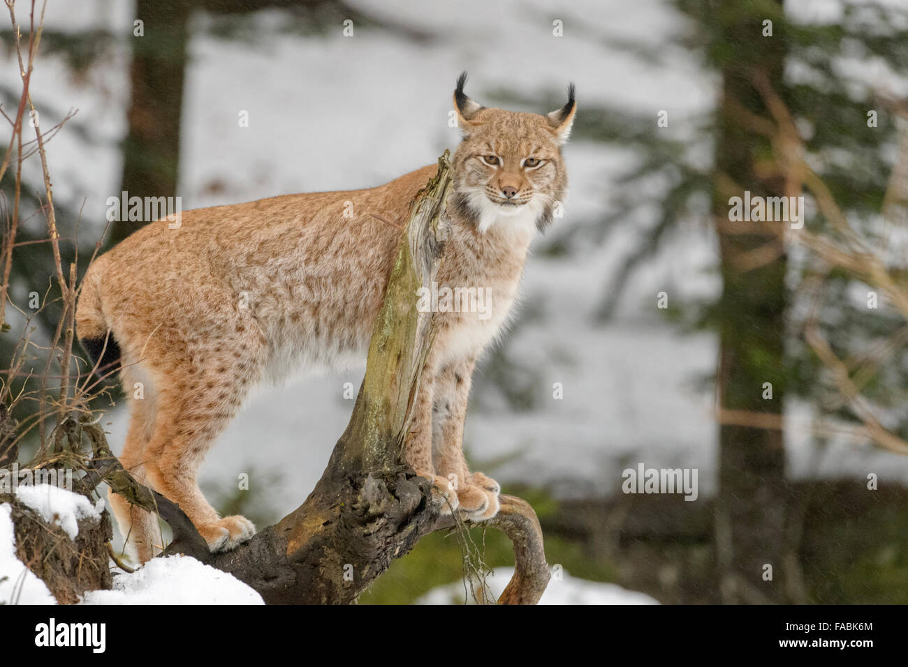 Eurasian Lynx (Lynx lynx) standing on a wood log in snow, looking at camera, Bavarian forest, Germany. - Stock Image