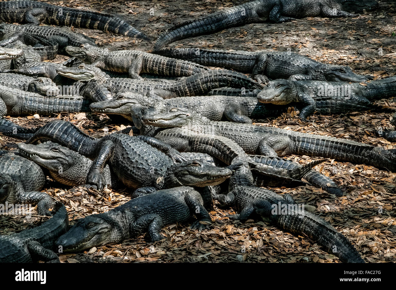 A large group of captive American Alligators resting and sunning themselves at the St. Augustine Alligator Farm, - Stock Image