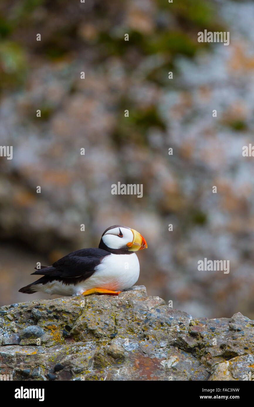 Horned puffin (Fratercula corniculata), Lake Clark National Park, Alaska. Stock Photo
