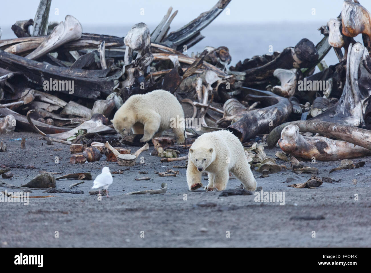 Polar bears (Ursus maritimus) at a whale bone pile,  Arctic National Wildlife Refuge, Alaska. - Stock Image