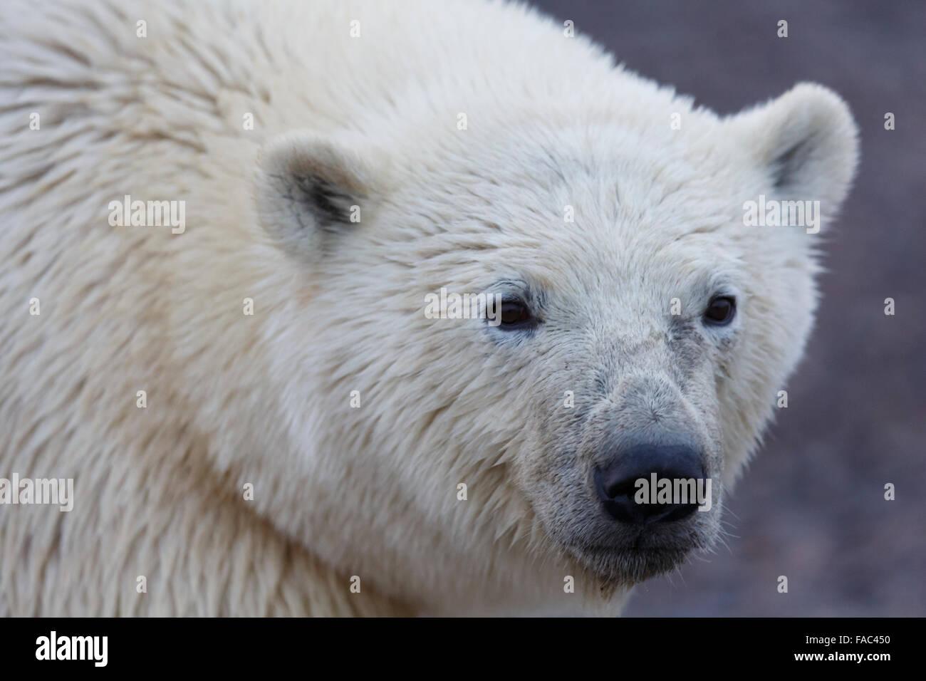 Polar bears (Ursus maritimus),  Arctic National Wildlife Refuge, Alaska. - Stock Image