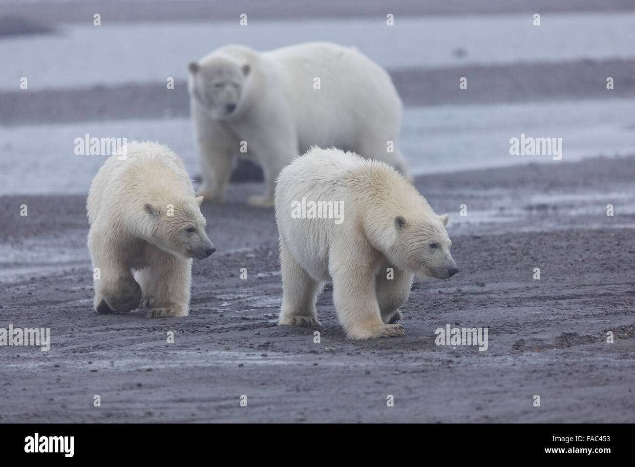Polar bears (Ursus maritimus),  Arctic National Wildlife Refuge, Alaska. - Stock Image