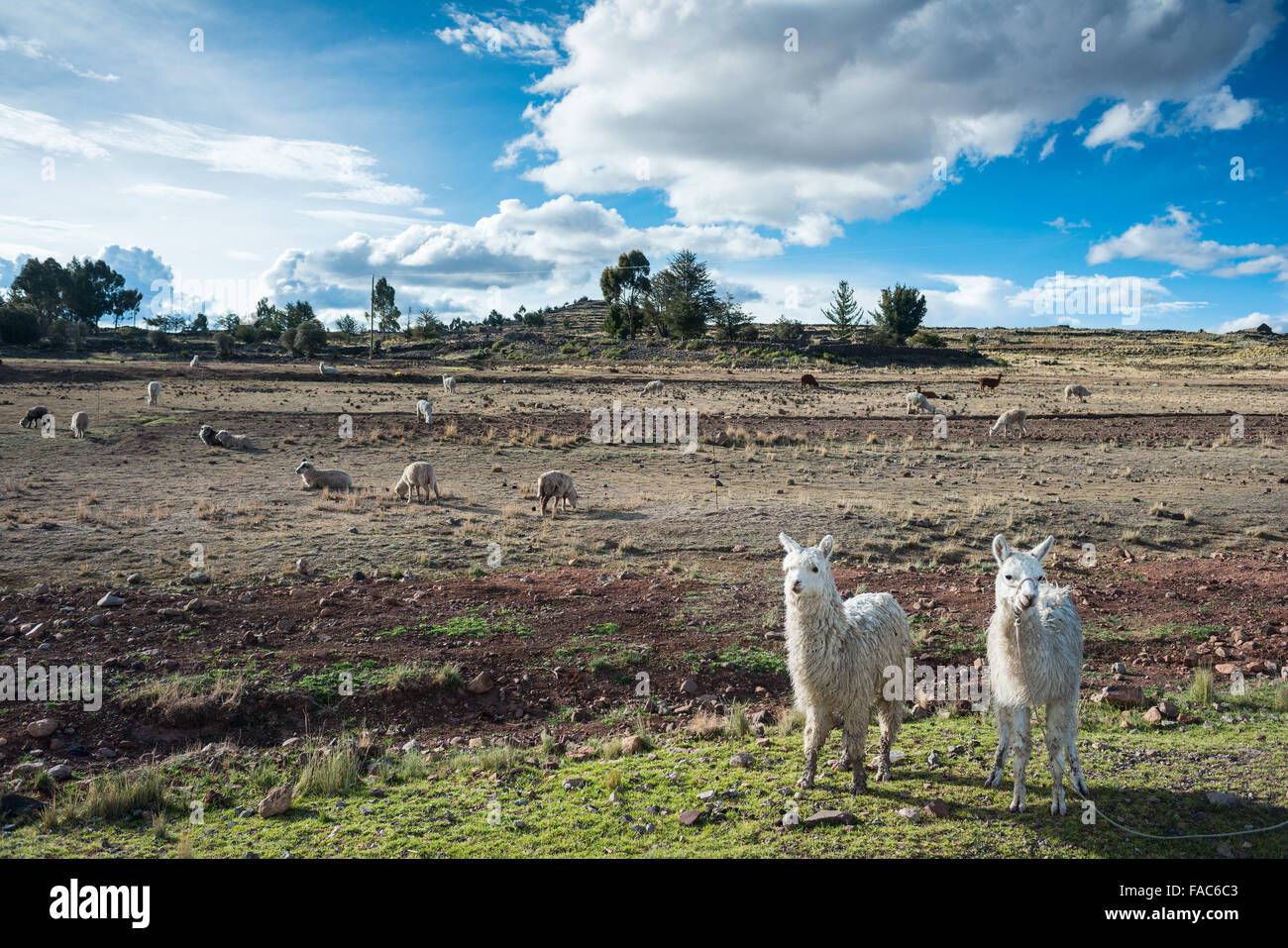 llamas are front of Terraced Inca fields and ruins of village in the Andes, Puno, Peru, South America - Stock Image